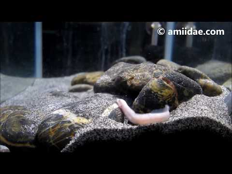Congo River Blind Spiny Eel Mastacembelus brichardi Feeding 2017