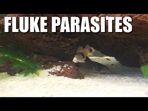 My Fish Have PARASITES! - Fluke Treatment And Symptoms