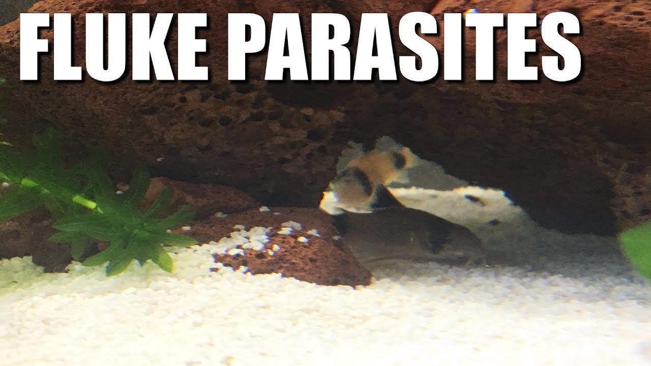 My Fish Have PARASITES! - Fluke treatment and symptoms