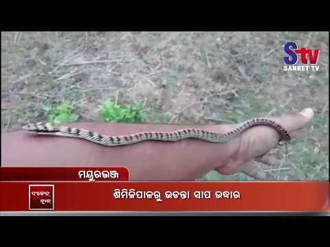 Rare Ornate Flying Snake Rescued In Odisha