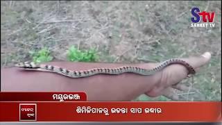 Rare Ornate Flying Snake Rescued In Odisha