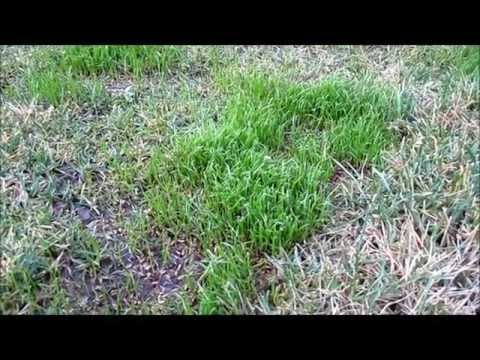 Scotts grass seed turf builder really works
