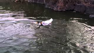 Ducks fighting on water 20140315 174320