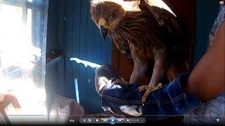 Орел могильник - вынашивание, приучение к руке.