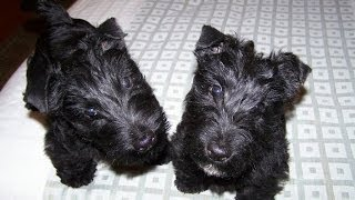 Scottish Terrier, Puppies, For, Sale, In, Dover, Delaware, DE, Long Neck, Ocean View, Woodside East,