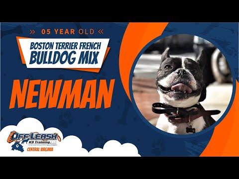 5 yo Boston terrier French bulldog mix (Newman) Best dog trainers in Virginia