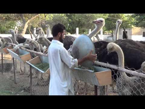 ostrich farm malir