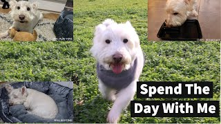 Vlog: A Day In The Life Of Charlie the West Highland Terrier Dog