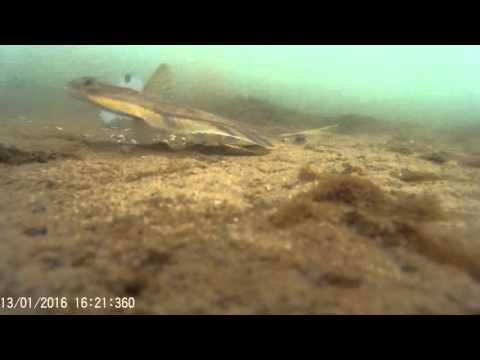 Камбала Амурский залив 2016