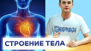 АНАТОМИЯ ЧЕЛОВЕКА. Расположение органов человека | ЭВРИКИ