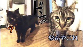 夜中にこっそり覗いたらデカ猫2匹が大暴れしてました!