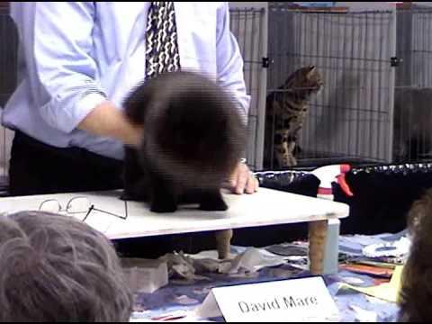Champion Persian Longhair Cat
