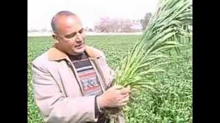 زيادة السنابل في القمح للحقل الارشادي