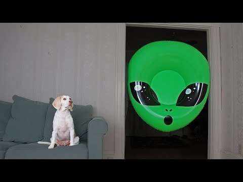 Dog Unimpressed by Giant Alien Head: Funny Dogs Maymo & Potpie
