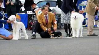 各犬種のパピークラスを勝ち上がった子たちが並んでいます。 総勢19頭...
