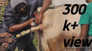 Download Video নরমালি   গাভীর বাচ্চা ডেলিভারি করানোর পদ্ধতি। By Sojib &Himel MP3 3GP MP4
