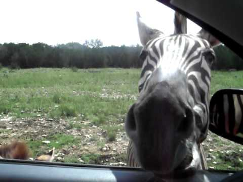 Feeding a Zebra and Baby Zebra