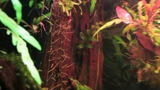 Аквариумное растение папоротник Crpidomanes auriculatum. Кормим криветок.к