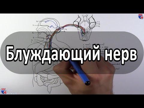Блуждающий нерв - Nervus Vagus (вагус) - Meduniver.com