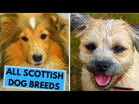 All Scottish Dog Breeds List