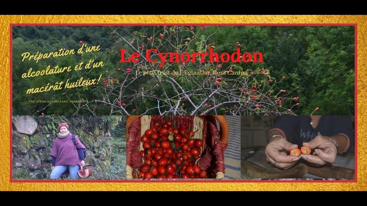 Cynorrhodon et ses vertus