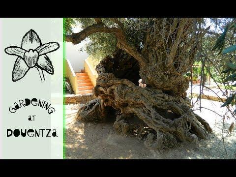 Monumental Olive Trees of Crete, Greece