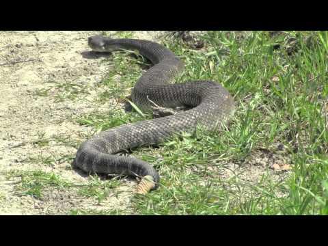 HUGE Rattlesnake while Hiking in California [HD]