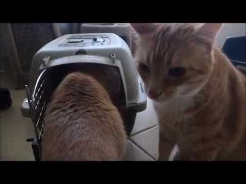 Siamese Kitten Introduced to Cats