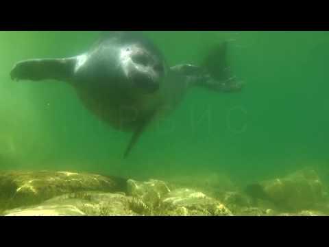 Северный Байкал. Подводный мир Ушканьих островов. Байкальская нерпа.