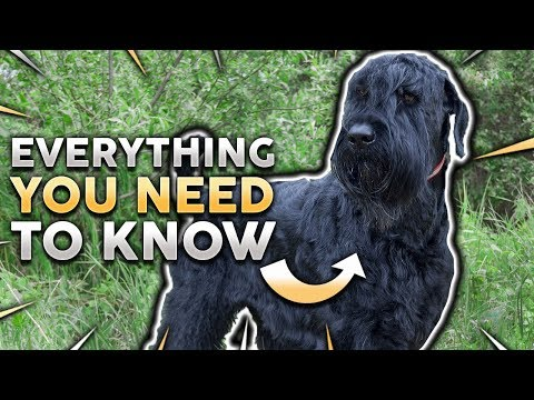 BLACK RUSSIAN TERRIER 101! The Best Guard Dog Most People Haven't Heard Of!