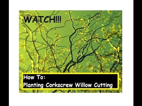 How To: planting my corkscrew willow cutting ✔