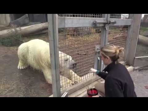 Polar bear training at Saint Louis Zoo