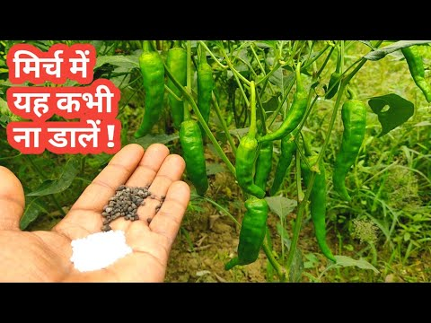 Chilli Plants Care || Best Fertilizer for chilli plant