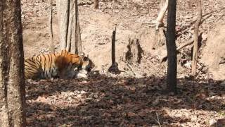 Tiger sighting in Pench National Park - Collarwali tigress getting in crouching position for hunt