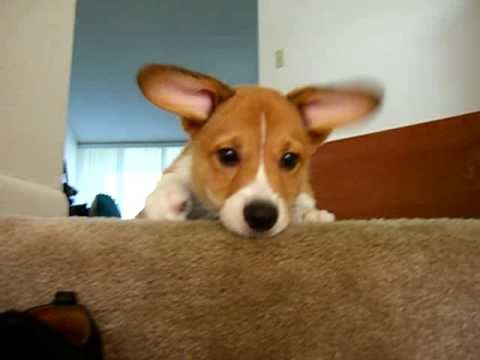 Sad corgi puppy after toy falls down stairs.