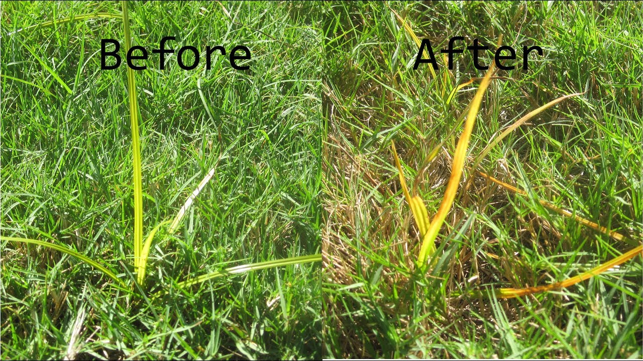 How to get rid of nut grass - Kill Nutsedge Toughest Lawn Weed Sedgehammer Other Option