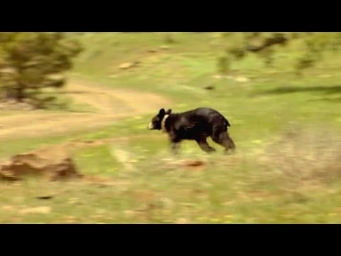 Rescued bear is wild and free - Born To Be Wild: Black Bear Rescue with Amanda Burton - BBC