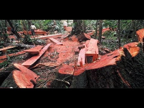the effects of illegal logging essay Illegal logging and trade can result in a range of negative ecological, economic  and social impacts (callister, 1999) environmental costs may.