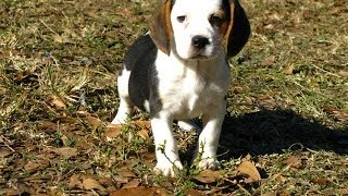 Beagle, Puppies, For, Sale, In, Houston, Texas, Tx, Mcallen, Mckinney, Mesquite, Plano