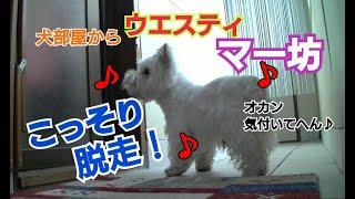 私に見つからないようコソコソ犬部屋から出ていく愛犬マー坊です。