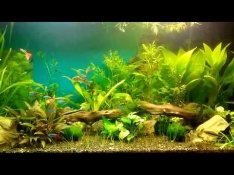 Как избавиться от бурых (диатомовых) водорослей в аквариуме при помощи улиток Теодоксусов