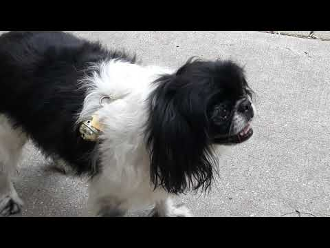 JAPANESE CHIN: 'Mom, let's go HOME!'