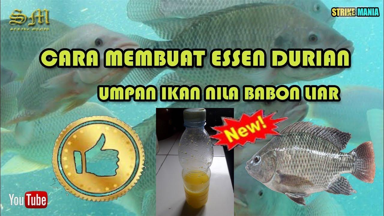 Cara Membuat Essen Aroma Durian Umpan Ikan Nila Babon Liar Jitu Youtube
