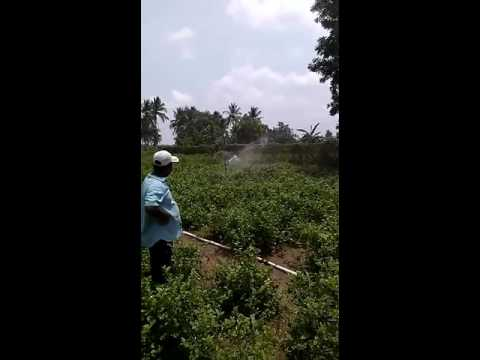 Rain gun cultivation for chilly