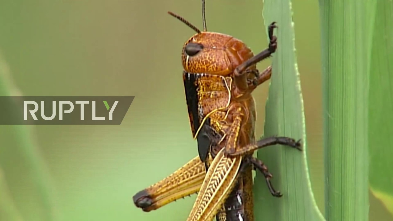 Russia: Plague of locusts descends on Dagestan - YouTube