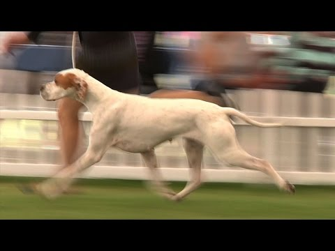 Blackpool Championship Dog Show 2015 - Gundog group