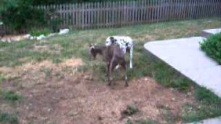 2 Lwri Weim Fosters And Their Dalmatian Brother Playing