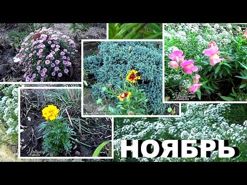 Вопрос: Как называются цветы похожие на крокусы, но цветут осенью?