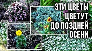 Какие цветы цветут осенью до заморозков  Обзор моих цветов в ноябре