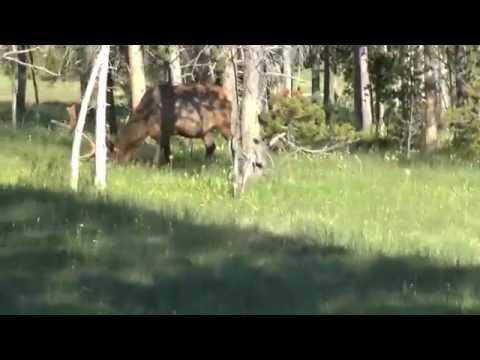 Yellowstone   7 July '14   Elk Encounter #4